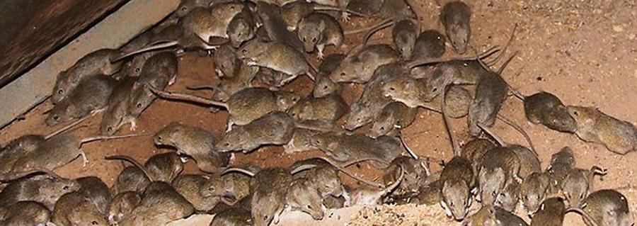mice-pest-control